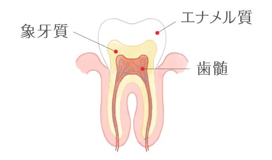 歯の構造0410-1