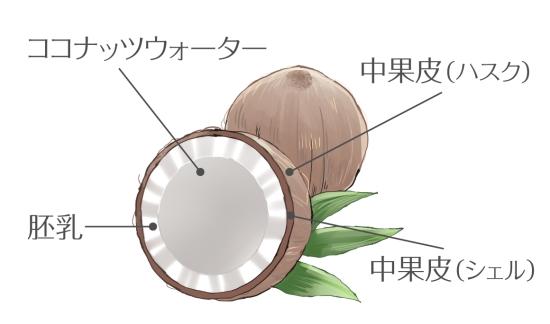 ココナッツ内部の構造のイラスト