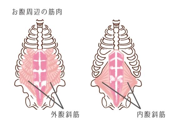 腹斜筋68511