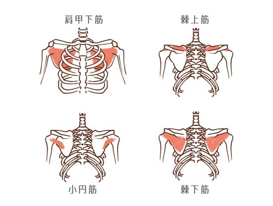肩甲骨付近の筋肉の部位と場所の説明